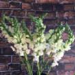 floralgallery/snapdragon.jpg