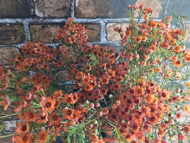floralgallery/tintedwaxflower.jpg